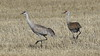 Sandhill Crane's  1473 (robenglish64) Tags: sandhillcranes