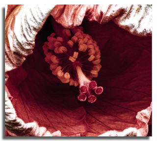 Hibiscus Flower a little different