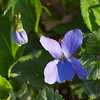 2018_04_0096sq (petermit2) Tags: wildviola viola pottericcarr potteric doncaster southyorkshire yorkshirewildlifetrust wildlifetrust ywt