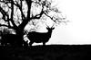 Don't wait for me (Fotos4RR) Tags: grass grassland field grazing meadow stag deer hirsch animal schwarzundweiss sw schwarzweiss blackwhite blackandwhite bw spring frühling silhouette tree baum looking marvelling