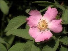 (Tölgyesi Kata) Tags: botanikuskert botanicalgarden withcanonpowershota620 tuzsonjánosbotanikuskert nyíregyháza flower blossom fleur virág rózsa rose rosacanina vadrózsa csipkerózsa