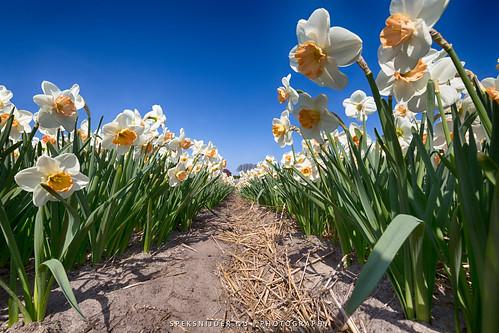 Flowerbulbs 3 - Daffodil