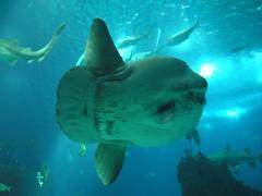 Peixe Lua (Helderlopesfotos) Tags: peixe lua oceanário lisboa lisbon portugal