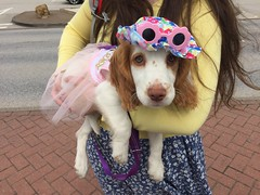 Bug in a dress (learnincurve) Tags: cocker spanial puppy dress wearing clothes dog