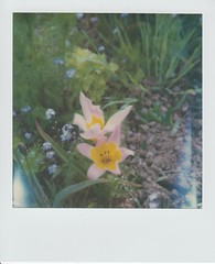 Wild Tulips (ifleming) Tags: 2ndshotsx70service sx70600 sidmouth 600colourfilm polaroid impossibleproject tulips