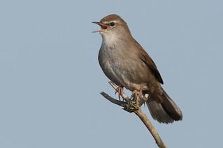 Cetti's Warbler-144