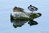 Une bonne sièste à deux (Ezzo33) Tags: france gironde nouvelleaquitaine bordeaux ezzo33 nammour ezzat sony rx10m3 parc jardin oiseau oiseaux bird birds specanimal canard colvert mallard duck