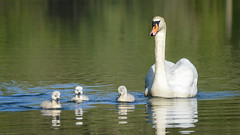 new arrivals (Emma Varley) Tags: swan cygnets spring westsussex southwatercountrypark sunshine cute fluffy joy