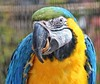 Photo taken, with a mouthful! 😄 (LeanneHall3 :-)) Tags: parrot blue yellow green feathers closeup closeupphotography bird aviary eastpark hull kingstonuponhull canon 1300d
