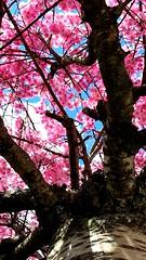 Under the Cherry Blossom Tree (joeclin) Tags: northamerica america unitedstates usa newyork ny longisland li nassaucounty oysterbay jericho tree cherryblossoms outdoor color amateur 2010s iphoneography iphone flowers lowangle flickrfriday appleiphone7 joelin joeclin