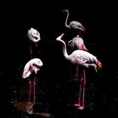 Flamingo Party (Mike_Mulcahy) Tags: yellow flamingoes auckland zoo aucklandzoo pink spotmetering fuji fujifilm xt2 50230mm 500px
