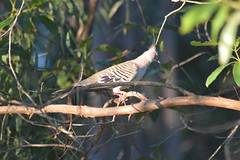 Crested Pigeon (Ocyphaps lophotes) (Urban and Nature OZ) Tags: crestedpigeon pigeon bird birds birding pigeons