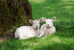 Spring has sprung. (S.K.1963) Tags: elements lambs baby sheep resting derbyshire peak district tree olympus omd em1 mkii 40 150mm 28 pro