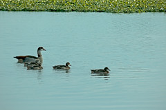 Duck Family (pelserk) Tags: outdoors three nature natural mother pond river wild water small mom bird baby animal cute duck lake female family duckling adorable