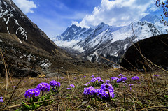 Catching up with the wild blossoms (_Amritash_) Tags: landscape mountains himalayas himalayanlandscape snowcappedmountains snowcappedpeaks flowers blossoms spring wildflowers valley glacier jaundhar primuladenticulata drumstickprimerose flora himalayanflora