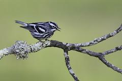 Black-and-white Warbler (www.studebakerstudio.com) Tags: blackandwhitewarbler blackandwhite warbler songbird bird nature wildlife lichen lakehope zaleski ohio studebaker