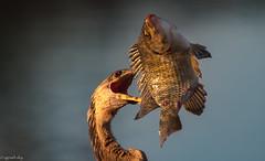 Final Blow (agnish.dey) Tags: birding birdwatching bird birdsofprey bokeh sunlight goldenhour hunting florida fish fishing nature naturallight naturephotograph nikon animal planet d500 animalplanet coth