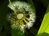 Ordinary Beauty (Alemap.1) Tags: dandelion seeds macro light abstract