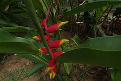 Heliconia rostrata or crab claw or lobster claw (ahmad al-shawaf) Tags: heliconia rostrata plant flowers flower green red yellow leaf leaves claw crab lobster photography photograph photographer pentax nature
