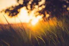 Field of Dreams (der_peste (on/off)) Tags: bokeh sun backlight backlit dof ears wheat fieldofwheat nature sunlight evening sundown sunset settingsun