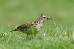 Woodlark with a selection of bugs (NikonNigel) Tags: copyright©nigelcox copyrights