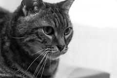 Voigtländer Nokton Classic SC 40 mm f/ 1.4 - DSCF0311 (::nicolas ferrand simonnot::) Tags: voigtländer nokton classic sc 40 mm f 14 2010s | 10 blades aperture leica m paris 2018 portrait bokeh depth field cat pet black white monochrome