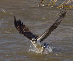 IMG_7071 Osprey with fish (cmsheehyjr) Tags: cmsheehy colemansheehy nature wildlife bird hawk fishhawk floodwall richmond virginia pandionhaliaetus jamesriver raptor osprey