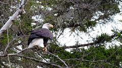 Guilty Eagle (jtr27) Tags: dscf9062xl fuji fujifilm xt20 xtrans minolta md zoom 75150mm f4 f40 manualfocus eagle raptor berlin fish hatchery newhampshire nh newengland wildlife