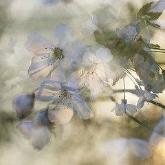 Blossom in evening light (Ali's view) Tags: blossom flower tree may evening spring warmth multipleexposure incamera macro soft bokeh