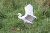 Little Egret (Dougie Edmond) Tags: monkton scotland unitedkingdom gb bird birds nature wildlife spring water golf course