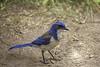 California Scrub-Jay (surfneng) Tags: bird blue ca california scrubjay