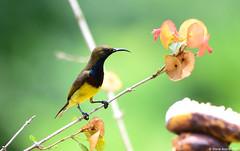 Olive-backed Sunbird (Cinnyris jugularis) (Steve Arena) Tags: olivebackedsunbird sunbird cinnyrisjugularis yellowbelliedsunbird bansongnok kaengkrachan phetchaburi petchaburi thailandbirding2017 thailand 2017 bird birds birding baansongnok