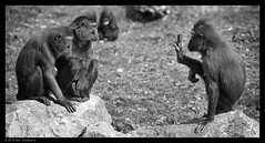 Come on guys, it's not rocket science... how many digits? (Neil Tackaberry) Tags: sulawesi crested macaque sulawesicrestedmacaque animal dublinzoo ireland school learning captivity neiltackaberry neil tackaberry 16x9 math maths counting numbers mathematics