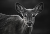 BW-Buck Fawn (Jenna.Lynn.Photography) Tags: portrait deer buck fawn bw blackandwhite bwportrait dof eos tamron wildlife wildlifephotography natur nature naturephotography mono face texture ears eyes whiskers nose bnw vantage outside animal mammal monochrome monochromatic fur detail