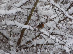 Birdie (Lexie's Mum) Tags: snow snowfall december2017 cold winter fun laughter tree trees branches robin bird