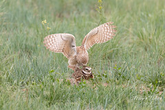 Burrowing Owl mating sequence - 9 of 22