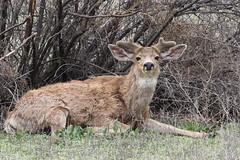 Big Mule Deer Buck In Velvet (fethers1) Tags: rockymountainarsenalnwr rmanwr rmanwrwildlife coloradowildlife deer muledeer muledeerbuck