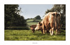 A mothers love (AnthonyCNeill) Tags: cow kuh calf calves mother tender kiss love mood emotion outdoor field farm animals tiere nikon d750 200500mm grass english countryside eyecatcher nature
