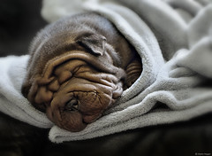 Raurus Junior (Martin_Heigan) Tags: sharpei puppy cute dog dogs mansbestfriend friendship 6weeksold hondtjie baby baba animals oulik raurus2 raurusjunior raurusthe2nd wrinkles cuddly wrinkled