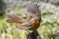 Robin (pstani) Tags: england erithacusrubecula europe europeanrobin greatbritain haroldpark haroldwood london bird fauna garden mygarden robin