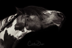 Posed by Peggy *4 (Christina Draper) Tags: animal pferd fine art equine equestrian fineart horse blackandwhite toned sepia flash black studio d500 nikon braid patterned equinephotography pony cob skewbald