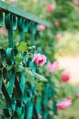 Fenced roses (Inka56) Tags: 7dwf flora hff roses fence pink green oldlens supertakumar255 manualfocus throughherlens