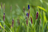Iris Buds (Southern Darlin') Tags: iris buds flower flowers garden nature purple grass plants plant green leafs blur bokeh yard photography photo portrait canon