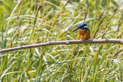 Kingfisher (iantaylor19) Tags: kingfisher brandon marsh warwickshire wildlife trust