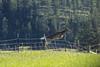 In a single bound (Notkalvin) Tags: deer jump fence nature animal nopeople outdoor notkalvin mikekline notkalvinphotography leap boundary barbedwire flying southdakota wildanimal critter venison