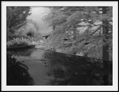 bird bath (Andrew C Wallace) Tags: heronswood pool birds wattlebird honeyeater dromana victoria australia thephotontrap ir infrared blackandwhite bw microfourthirds m43 olympusomdem5 tiltshift multipleexposure