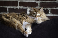 Mandy Monday: Loungy Girl (Photo Amy) Tags: adorable aminal canon50d cat cuddly cute cuteness ef50mm18 eartufts feline fluffy fur furry ginger kitten longhair longhaired orange pet precious red tabby toefur whisker whiskers