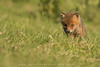 Red Fox Kits (Ian Hufton Photography - Landscape & Wildlife) Tags: fox redfox kit kits cub cubs vulpesvulpes kent wildlife wild