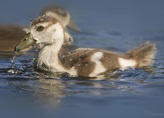Splash Battle (Paula Darwinkel) Tags: gosling egyptiangoose goose bird ducking chick waterdrops water animal wildlife nature sun cute spring