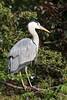 Grey Heron (Twjst) Tags: basel bird reiher vogel zoo